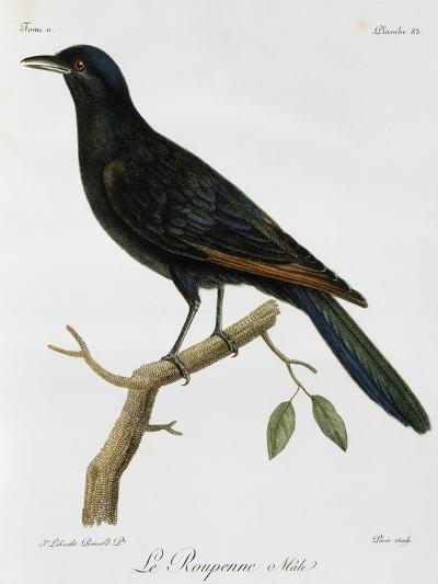 Male Red-Winged Starling (Onychognathus Morio)--Giclee Print