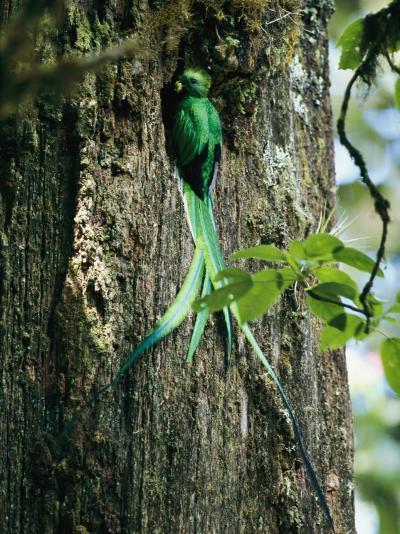 Male Resplendent Quetzal Bearing Food for its Nestlings-Steve Winter-Photographic Print