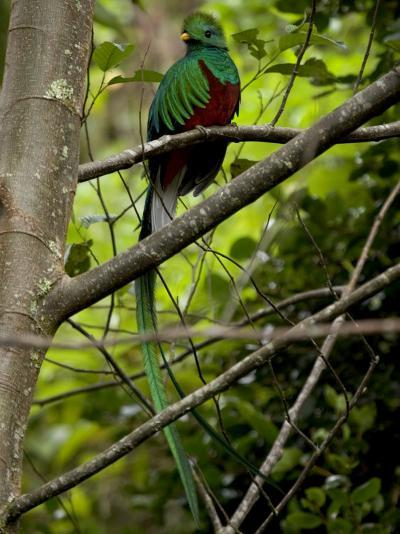 Male Resplendent Quetzal (Pharomachrus Mocinno) on a Tree Branch-Roy Toft-Photographic Print