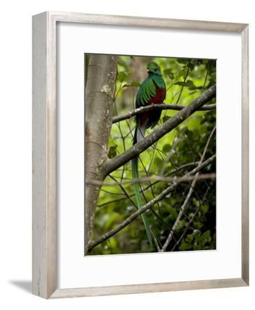 Male Resplendent Quetzal (Pharomachrus Mocinno) on a Tree Branch-Roy Toft-Framed Photographic Print