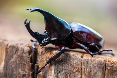 https://imgc.artprintimages.com/img/print/male-rhinoceros-beetle-rhino-beetle-hercules-beetle-unicorn-beetle-horn-beetle_u-l-q1a32du0.jpg?p=0