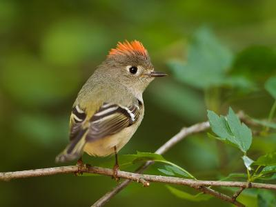 Male Ruby-Crowned Kinglet-Adam Jones-Photographic Print