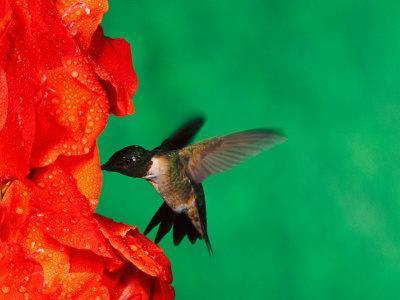 Male Ruby-Throated Hummingbird Feeding on Gladiolus Flowers-Adam Jones-Photographic Print
