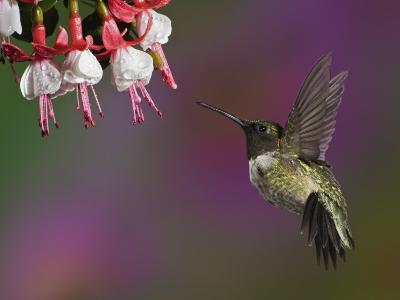 Male Ruby-Throated Hummingbird Hovering Near Flowers (Archilochus Colubris), Eastern USA-Adam Jones-Photographic Print