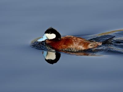 Male Ruddy Duck (Oxyura Jamaicensis) Swimming, Sweetwater Wetlands, Tucson, Arizona, USA-James Hager-Photographic Print