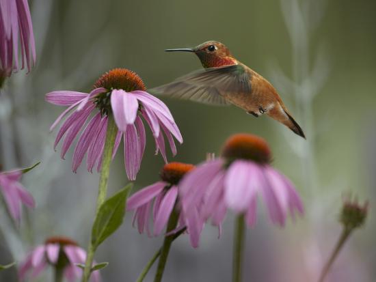 Male Rufous Hummingbird Flies over Purple Coneflowers-Tim Fitzharris-Photographic Print