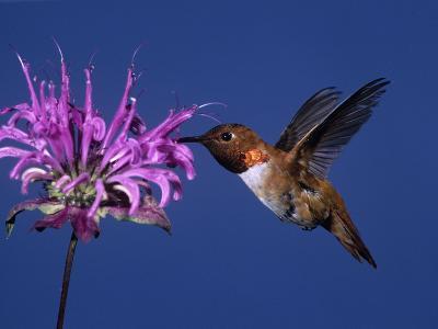 Male Rufous Hummingbird (Selasphorus Rufus) at Wild Bergamot (Monard Fistulosa)-Charles Melton-Photographic Print