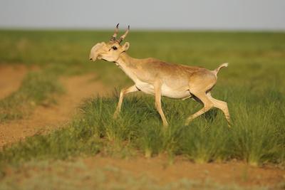 https://imgc.artprintimages.com/img/print/male-saiga-antelope-saiga-tatarica-running-cherniye-zemli-black-earth-nr-kalmykia-russia_u-l-q10ofan0.jpg?p=0