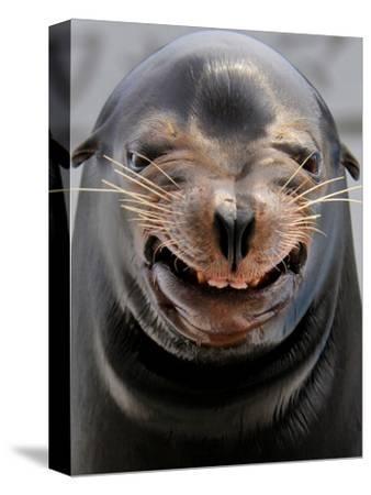 Male Sea Lion Performs 'smiling' During a Show at Kamogawa Sea Wolrd in Kamogawa, Japan