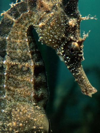 https://imgc.artprintimages.com/img/print/male-seahorse-hippocampus-whitei_u-l-p3jqw80.jpg?p=0