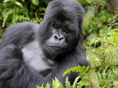 Male Silverback Mountain Gorilla Resting, Volcanoes National Park, Rwanda, Africa-Eric Baccega-Photographic Print