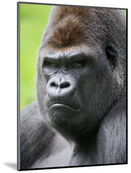Male Silverback Western Lowland Gorilla Head Portrait, France-Eric Baccega-Mounted Photographic Print