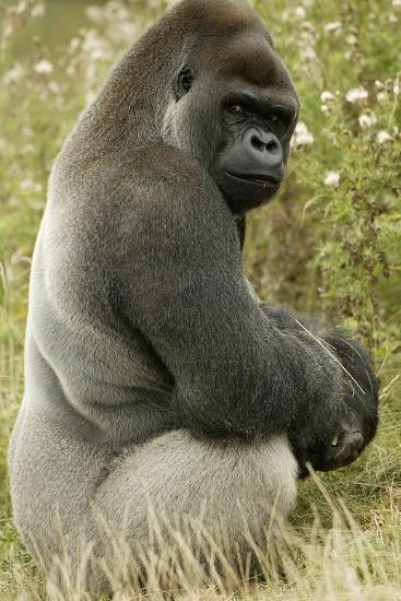 Male Silverback Western Lowland Gorilla Sitting Portrait (Gorilla Gorilla Gorilla) Uk-T^j^ Rich-Photographic Print