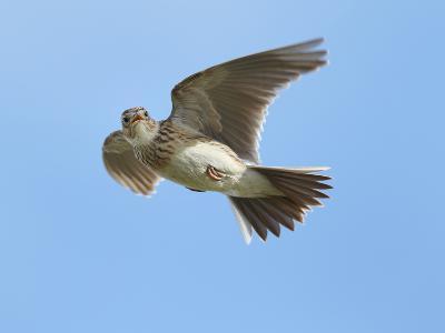 Male Skylark (Alauda Arvensis) in Flight, Singing, Denmark Farm, Lampeter, Ceredigion, Wales, UK-Richard Steel-Photographic Print