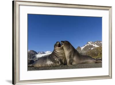 Male Southern Elephant Seal Pups (Mirounga Leonina) Mock-Fighting, Gold Harbor, South Georgia-Michael Nolan-Framed Photographic Print