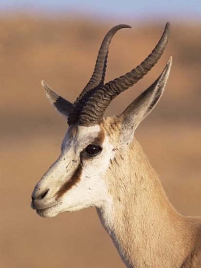 Male Springbok (Antidorcas Marsupialis), Kalahari Gemsbok National Park, South Africa, Africa-Steve & Ann Toon-Photographic Print
