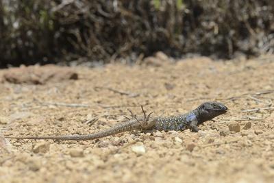 https://imgc.artprintimages.com/img/print/male-tenerife-lizard-western-canaries-lizard-gallotia-galloti-raising-feet-after-getting-hot_u-l-pwg8sc0.jpg?p=0
