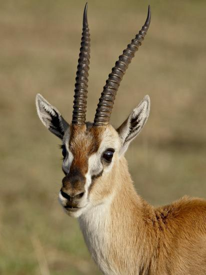 Male Thomsons Gazelle, Masai Mara National Reserve-James Hager-Photographic Print