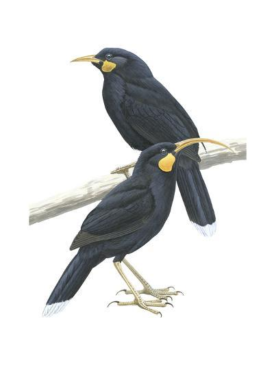 Male (Top) and Female Huia (Heteralocha Acutirostris), Birds-Encyclopaedia Britannica-Art Print