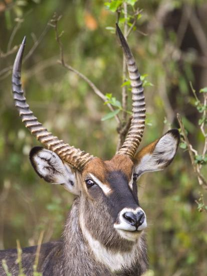 Male Water Buck, Maasai Mara, Kenya-Joe Restuccia III-Photographic Print