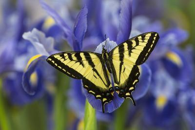 Male Western Tiger Swallowtail Butterfly-Darrell Gulin-Photographic Print