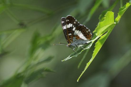 Male White Admiral Butterfly (Limenitis Camilla) Standing On Sunlit Leaves-Nick Upton-Photographic Print
