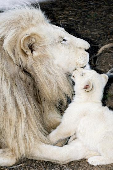 Male White Lion And Cub-Tony Camacho-Photographic Print