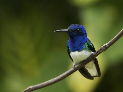 Male White-Necked Jacobin Hummingbird Perched on a Twig-Tim Laman-Photographic Print