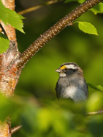 Male White-Throated Sparrow (Zonotrichia Albicollis), New Hampshire, USA-John Abbott-Photographic Print