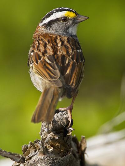 Male White-Throated Sparrow (Zonotrichia Albicollis), New Hampshire, USA-John Abbott-Photographic Print