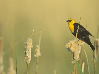 Male Yellow-Headed Blackbird, Xanthocephalus Xanthocephalus, in Cattails, Typha, North America-John & Barbara Gerlach-Photographic Print