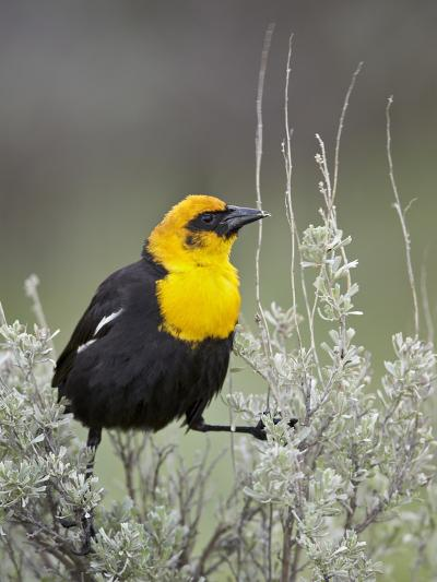 Male Yellow-Headed Blackbird (Xanthocephalus Xanthocephalus)-James Hager-Photographic Print