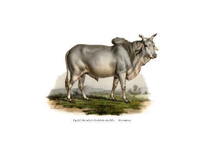 Malian Zebu Cow, 1860--Giclee Print