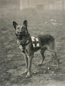 Malinois (Belgian Shepherd Dog) Trained for Work as a French Red Cross Dog