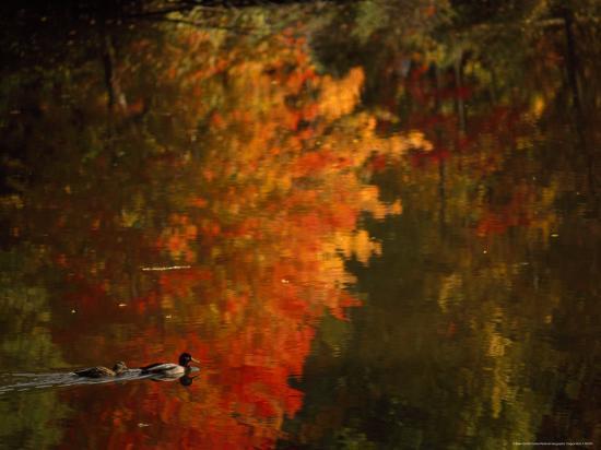 Mallard and Its Mate Create a Wake in a Colorful Fall Scene-Brian Gordon Green-Photographic Print