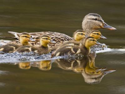 Mallard Duck and Chicks Near Kamloops, British Columbia, Canada-Larry Ditto-Photographic Print