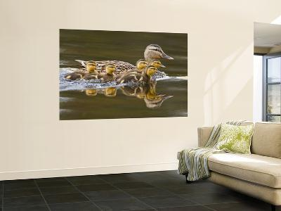 Mallard Duck and Chicks Near Kamloops, British Columbia, Canada-Larry Ditto-Wall Mural
