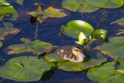 Mallard Duck, Duckling Wildlife, Juanita Bay Wetland, Washington, USA-Jamie & Judy Wild-Photographic Print