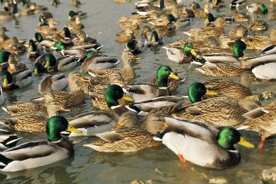 Mallard Duck Flock on Water--Photographic Print