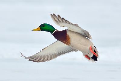 Mallard Duck Flying Photographic Print By Geanina Bechea Art Com