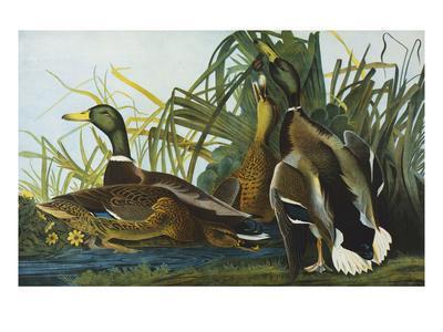 https://imgc.artprintimages.com/img/print/mallard-duck-from-the-birds-of-america_u-l-pemmdy0.jpg?p=0