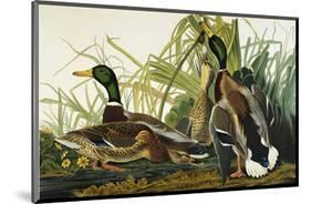 Mallard Duck. Mallard (Anas Platyrhynchos), Plate Ccxxi, from 'The Birds of America'-John James Audubon-Mounted Premium Giclee Print