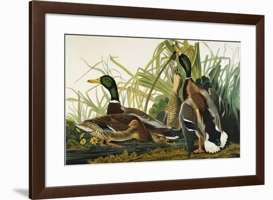 Mallard Duck. Mallard (Anas Platyrhynchos), Plate Ccxxi, from 'The Birds of America'-John James Audubon-Framed Premium Giclee Print
