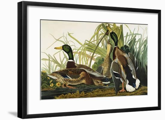 Mallard Duck. Mallard (Anas Platyrhynchos), Plate Ccxxi, from 'The Birds of America'-John James Audubon-Framed Giclee Print