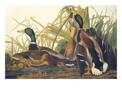 Mallard Duck-John James Audubon-Art Print
