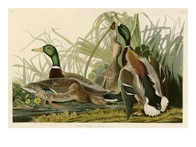 Mallard Duck-John James Audubon-Premium Giclee Print