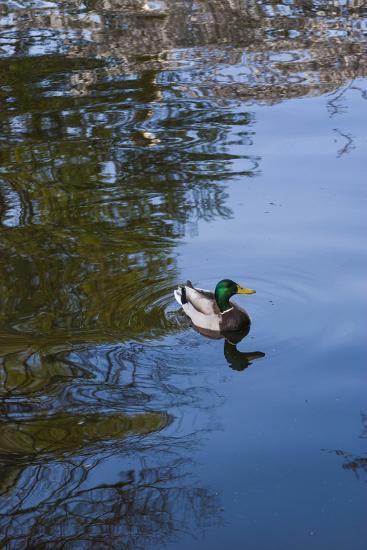 Mallard Duck-Anna Miller-Photographic Print
