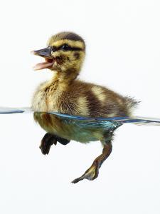 Mallard Duckling in Water