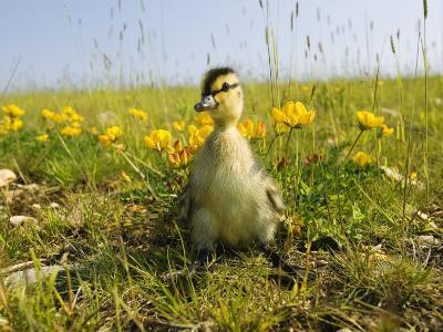Mallard, Duckling in Wildflower Meadow, UK-Mike Powles-Photographic Print