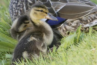 Mallard Duckling-Ken Archer-Photographic Print
